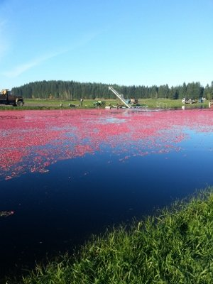 Harvesting cranberries on Iron River Cranberry Farm is shown in this picture